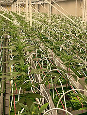 cannergrow-bravo-room-switzerland-canner