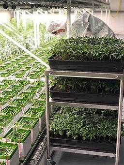 cannergrow-cannabis-growing.jpg