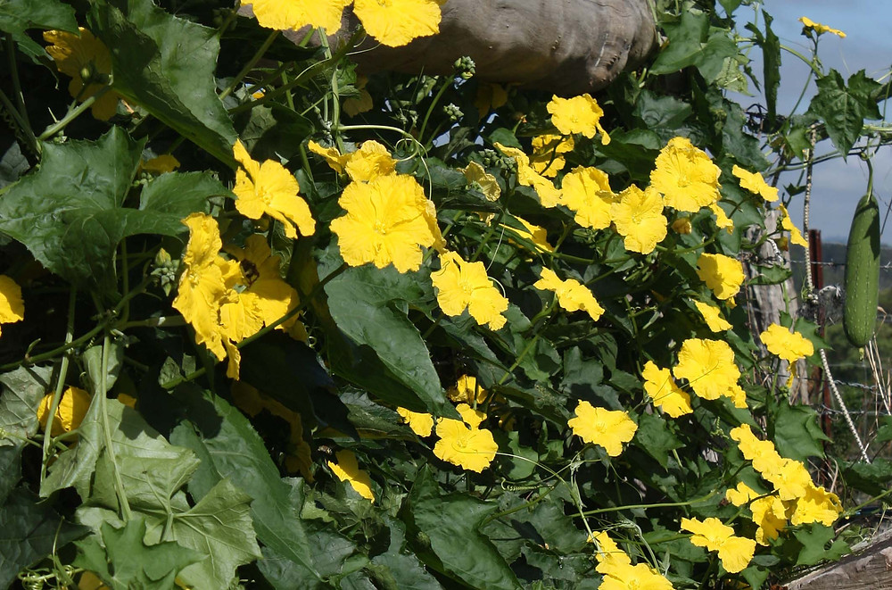 Luffa flowers