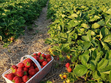 What's🌱at Rochon Garden: Strawberry Picking Season!