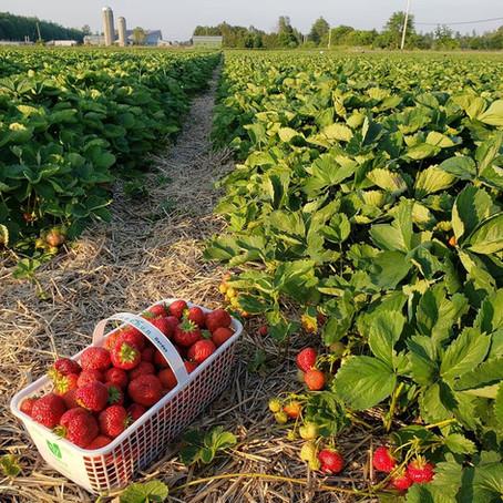What's🌱at Rochon Garden: Strawberry Picking Season!