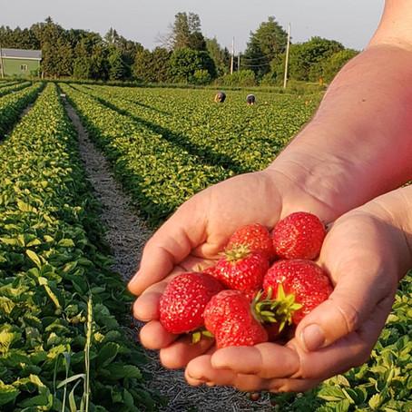 What's🌱at Rochon Garden: Good-bye PYO strawberries, Hello blueberries and raspberries!