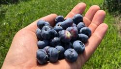 Blueberries_edited