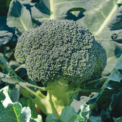asteroidbroccoli-asteroidbroccoli-image-