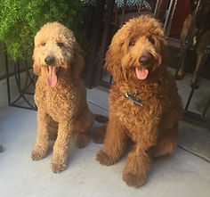 two goldendoodle siblings