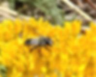 Bee_FtH_Asclepias_tuberosa_DSC05204.JPG
