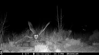 2021-03-19_Thicketcam_Great-horned_Owl.jpg