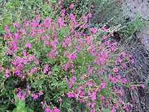 Salvia_lemmonii_MontezumaPassRd_HuachMtn