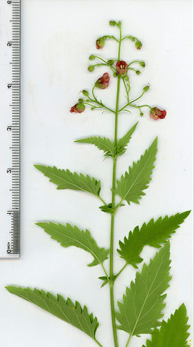 Scan164_Scrophularia_parviflora_CarrCynR
