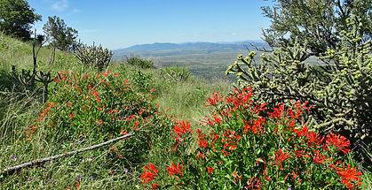 Montezuma_Peak_Bouvardia_ternifolia2_007
