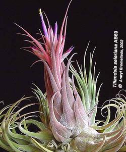 тилландсия селеиана