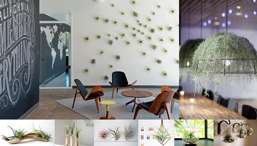 Тилландсии это декоративные воздушные растения