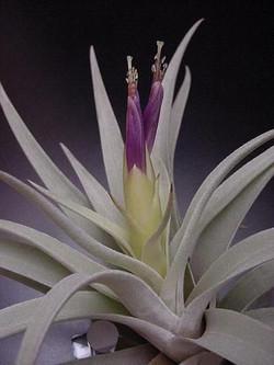 Tillandsia harrisii цветок