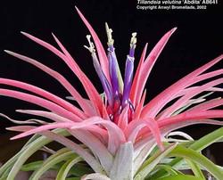 Tillandsia Abdita цветение