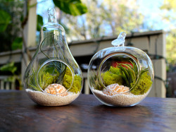 тилландсии во флораруме