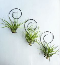 Воздушные растения на стене