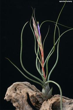 Tillandsia bulbosa цветение