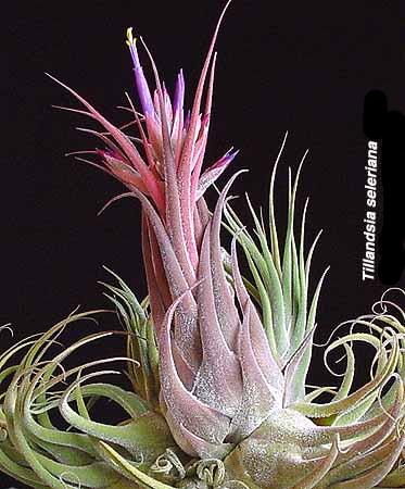 тилландсия селеиана цветущая