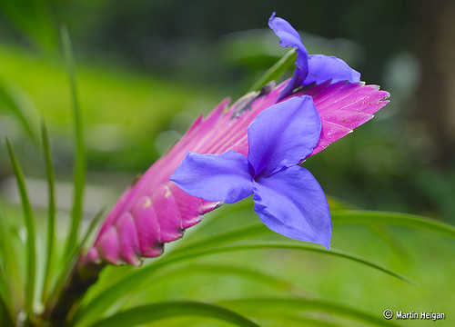 Тилландсия синяя Tillandsia cyanea