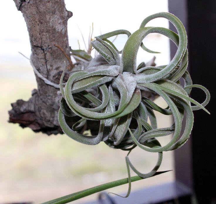 Tillandsia caput-medusa
