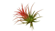 Тилландсия красная (Tillandsia Ionantha red) - 600 рублей.