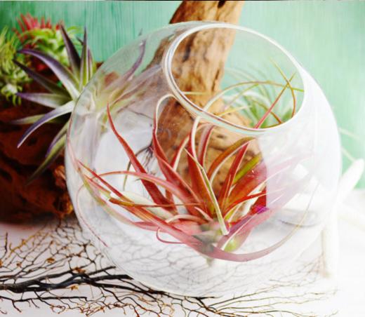 Красная тилландсия в стекле