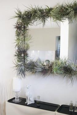 Тилландсии на зеркале