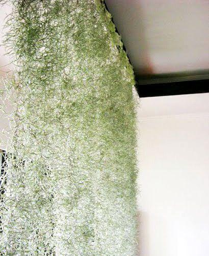 Испанский мох