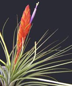 Tillandsia Melanocrater цветение