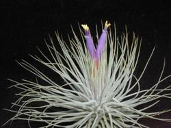 tillandsia magnusiana цветущая