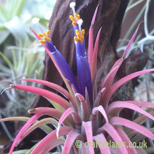 цветок tillandsia ionantha rubra