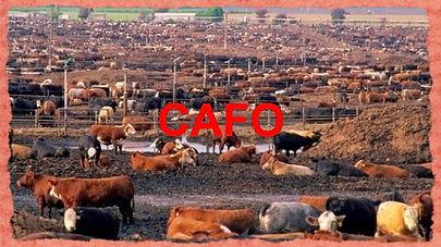 cafo-cows-in-excrement-2-e1352825447169_