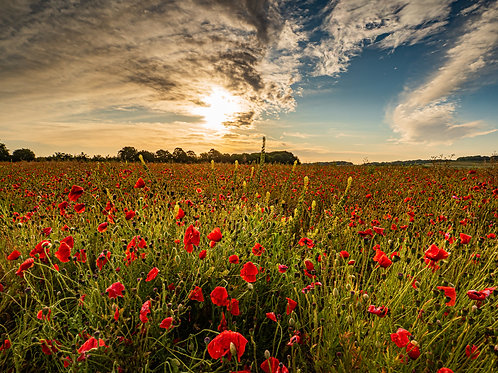 Limited edition canvas of Dorset Poppy Field