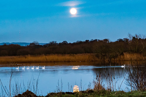 Limited Edition Canvas of A swan Parade in a full moon