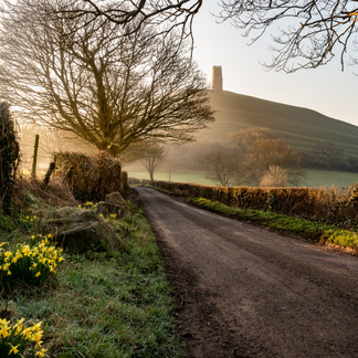 Daffodils in the Mists of Avalon, Glastonbury, Somerset.