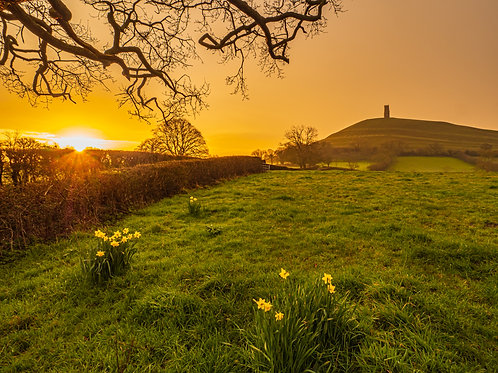 Limited Edition Canvas of the daffodils at sunrise, Glastonbury Tor