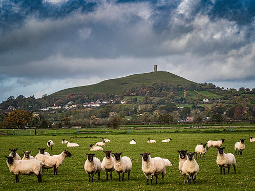 Limited Edition Canvas Sheep posing in Glastonbury
