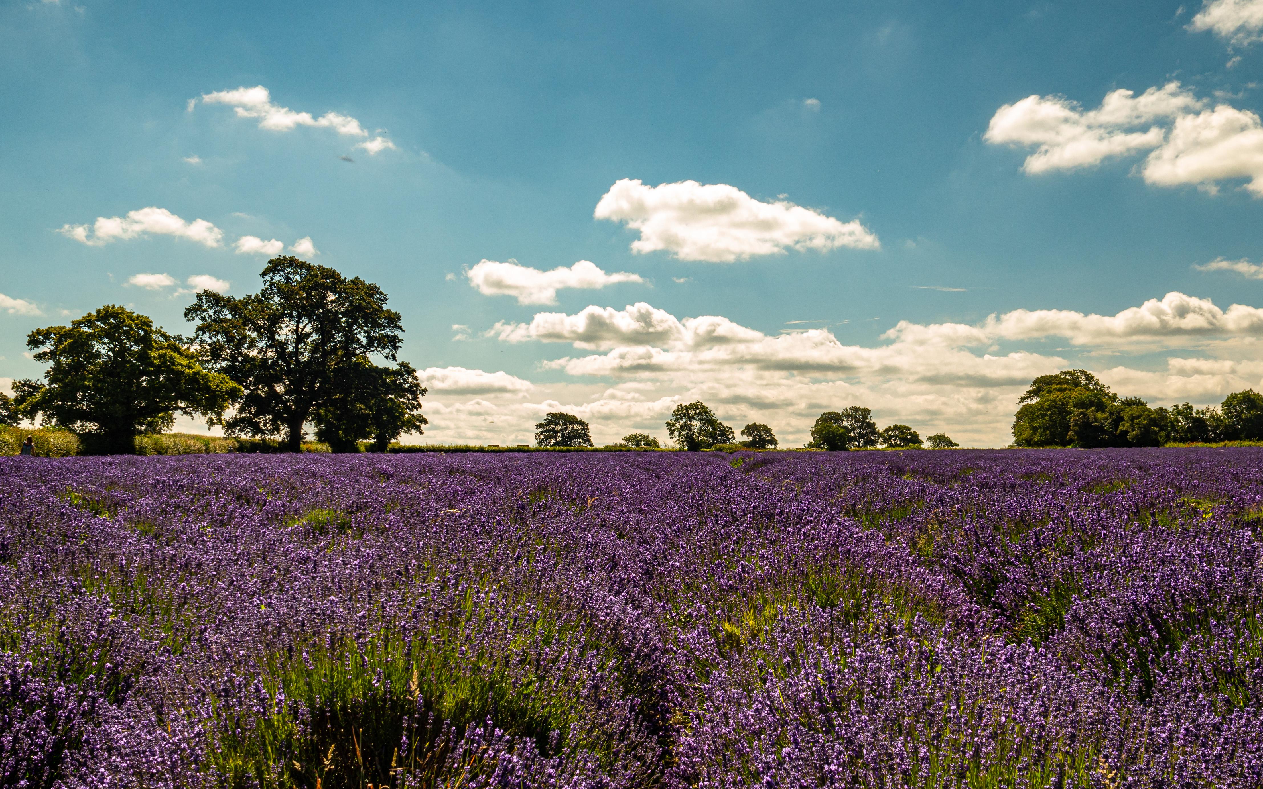 Lavender 1 (1 of 1)