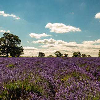 Lavender Fields, Somerset.