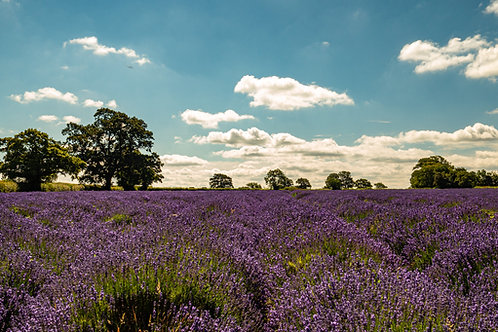 Limited Edition canvas of Lavender Field