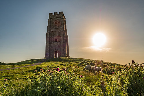 Limited edition print of Thistles and sheep on Glastonbury Tor
