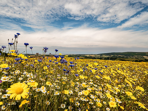 Limited Edition Print of Stogumber wildflower meadow