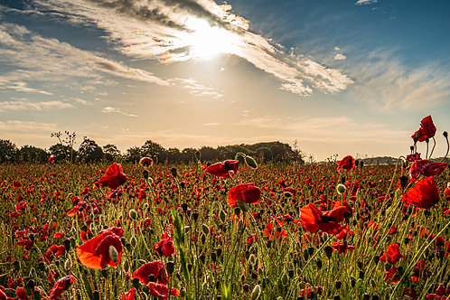 Limited edition print of A Dorset Poppy Field in the sun.