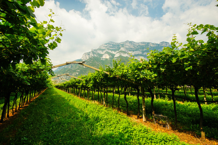 italienische Weinreben