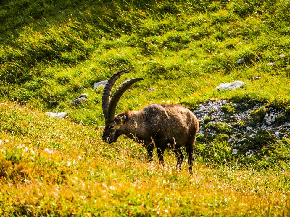 Steinbock im Alpenland