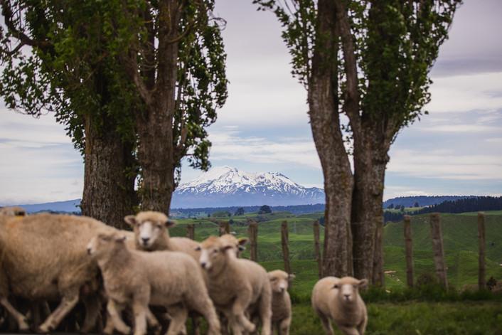 Ruanui farm-73.jpg