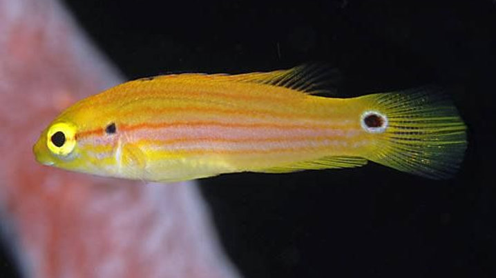 Twin Spot or Candy Hogfish
