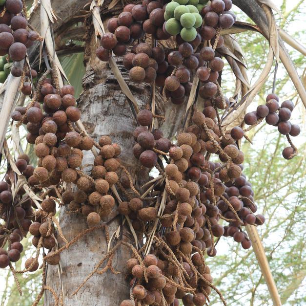 Makalane seeds