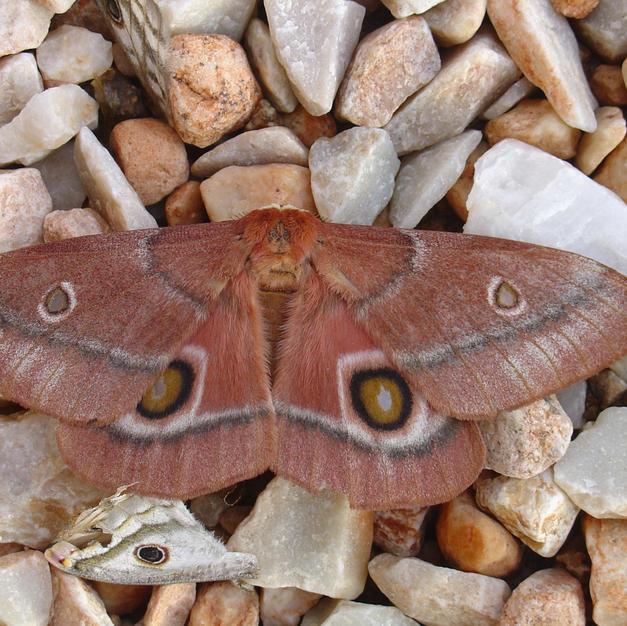 Mopane moth