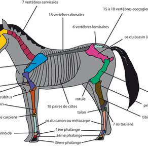 #galop 5 - Le squelette du cheval (avec schéma vierge pour s'entraîner)
